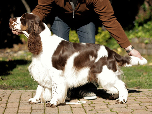 Crispin, an English Springer Spaniel in Liver, White and Tan